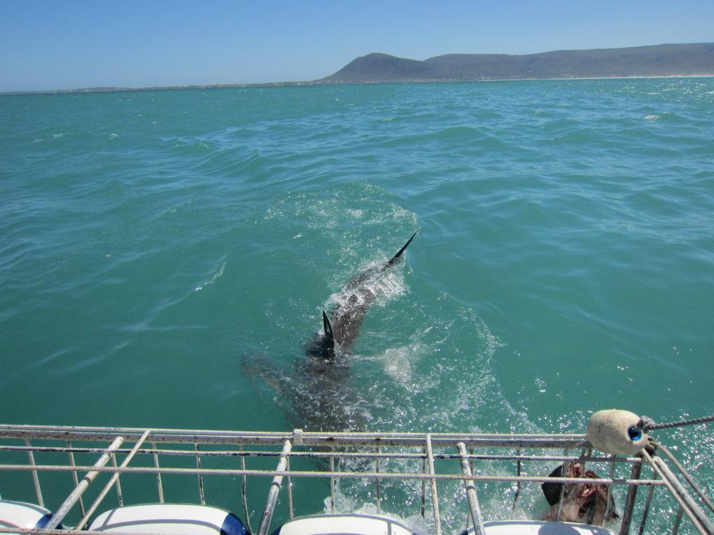 Hai puurisukeldumine_SouthAfrica_4